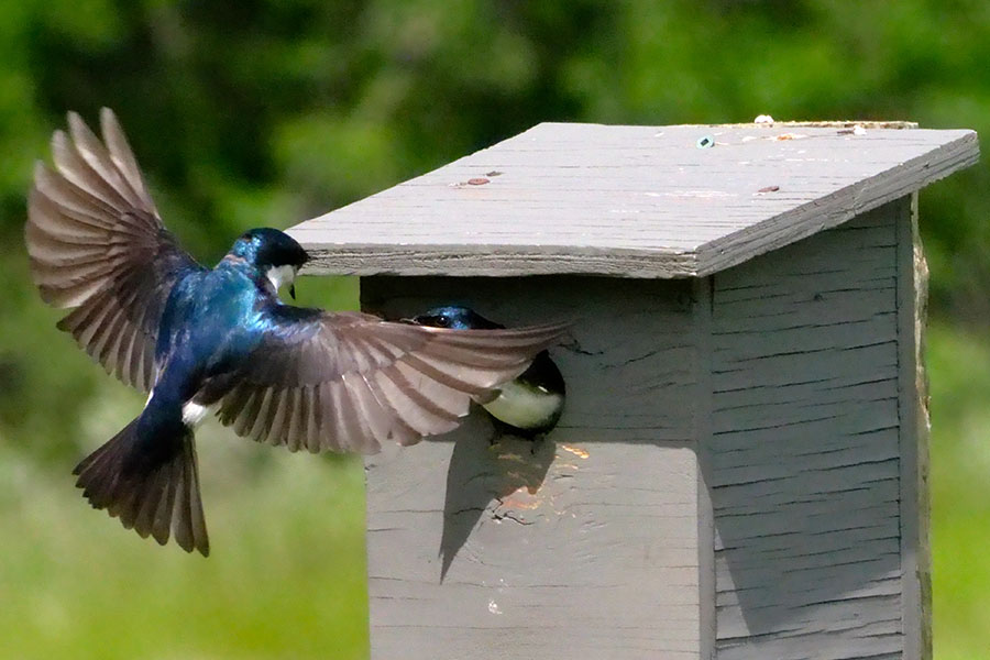 Purple Martin feeding young