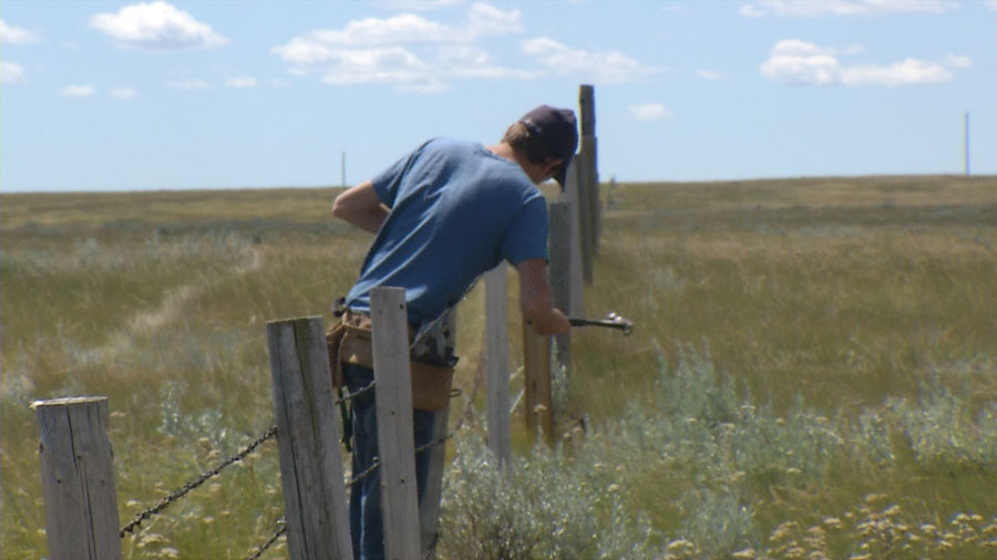 Antelope fencing project in Southern Alberta