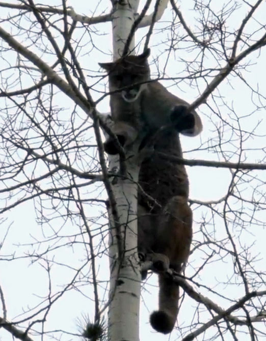 Cougar is treed by the dogs - biologists need to decide if it can then be safely tranquilized and lowered from the tree