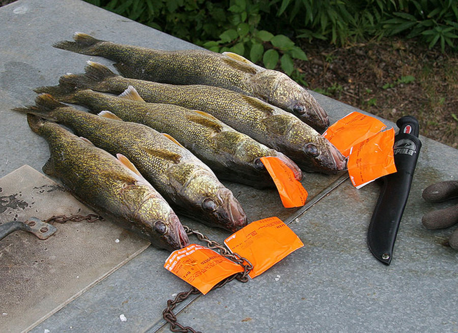 Walleye catch with draw tags attached