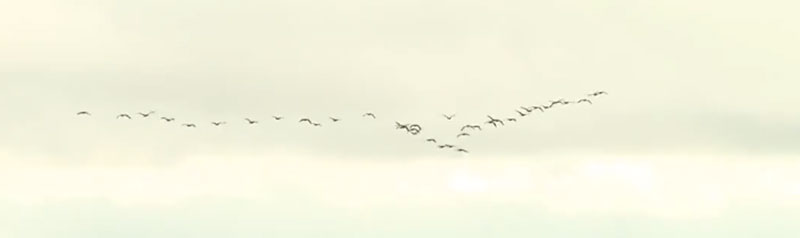 Geese fly-over