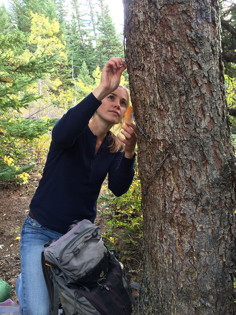 Andrea Morehouse collects hair samples from a grizzly rubbing tree