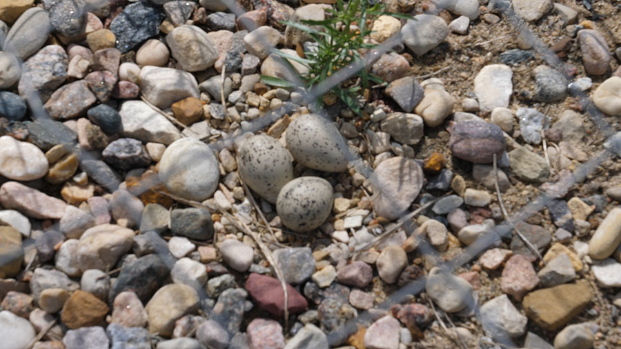 Piping Plover eggs laid this spring validate the new nesting site