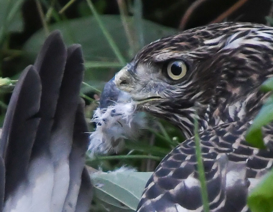 Juvenile red-tailed hawk makes a meal out of a sibling
