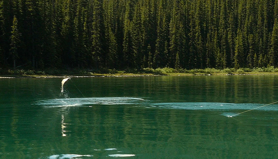 A large rainbow trout puts up a good fight at Maligne Lake