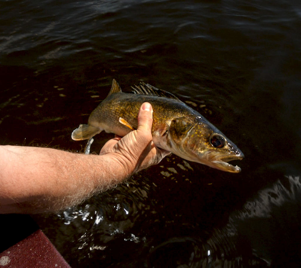 The post spawn can be a great time to target Walleye. We get some tips from professional guide Ray Kuhlruss.