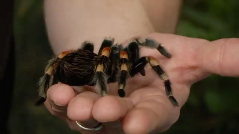 A Mexican Redknee Tarantula - a resident in the bug room at the Royal Alberta Museum