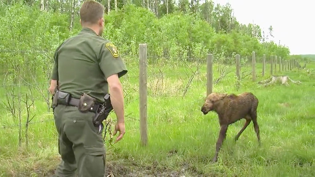 Alberta conservation officer gingerly cuts the moose calf free from the fence
