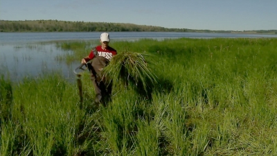 Flowering Rush – an invasive plant species in Alberta – is destroying lakeshore