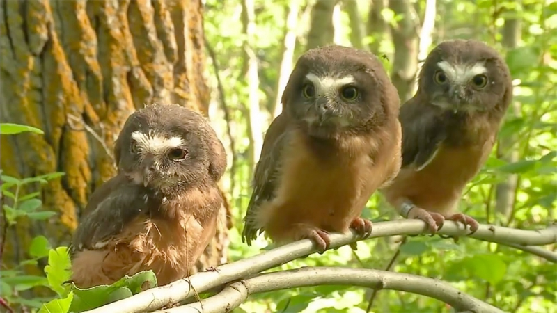 Saw-whet Owl chicks hang out on a branch after leg banding