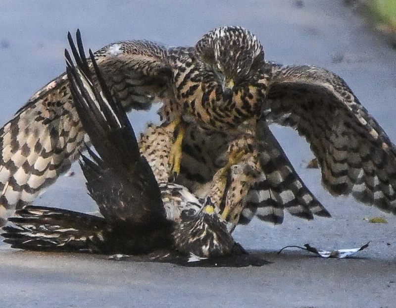 Juvenile red-tailed hawks locked in mortal combat