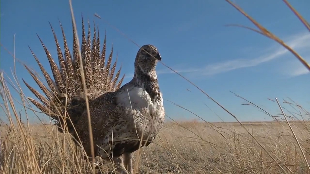 Alberta's decimated Sage Grouse population to get another boost from Montana (video, photo)