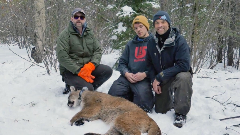 Provincial biologists with a tranquilized cougar and newly installed tracking collar