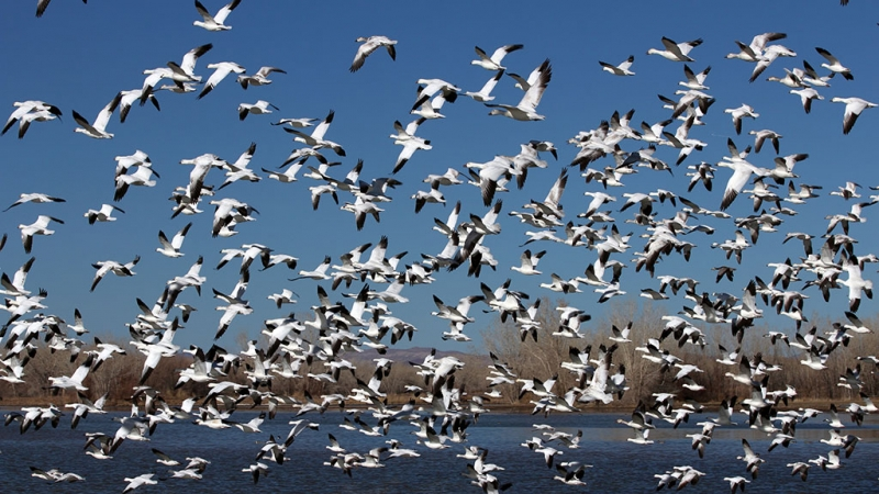 This Spring it's expected millions of Lesser Snow Geese will be flying over Alberta on their way to Artic summer grounds