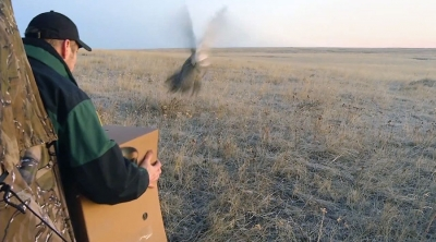 Sage Grouse released in Southern Alberta by Alberta Environment & Parks biologist