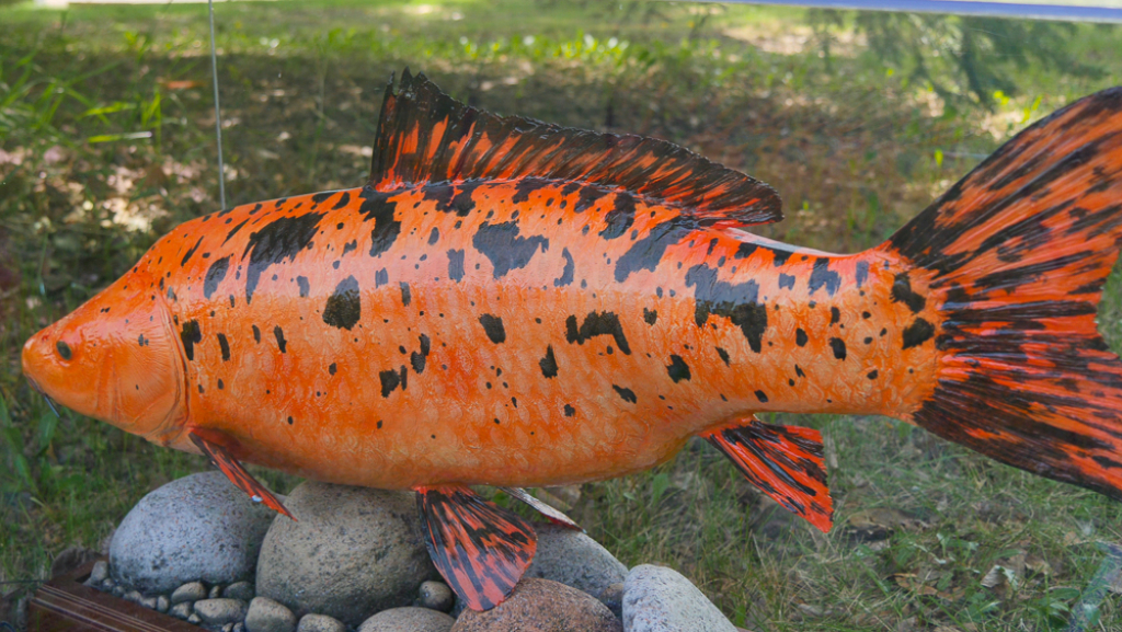 A coy fish dumped into a storm pond can grow to an extraordinary size, posing a serious threat to native fish species.