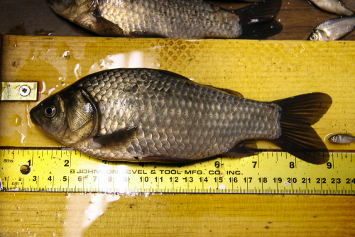 Prussian Carp pose a serious risk to our native fish populations. If you catch one kill it. Do not remove and place in another waterbody.