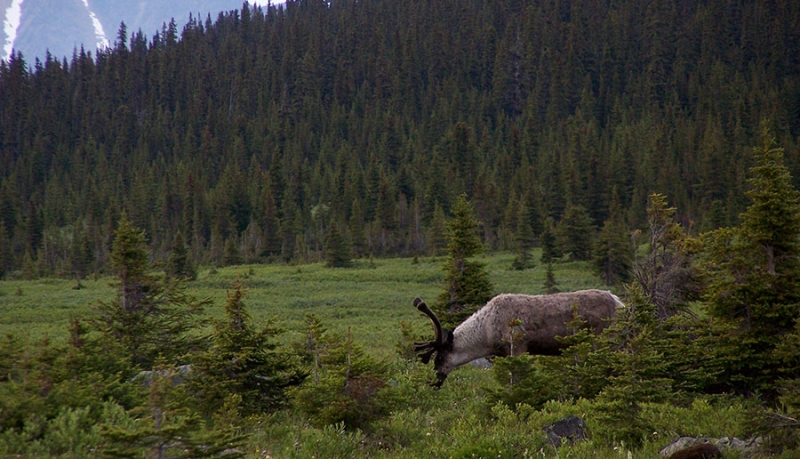 The Caribou question… no easy answers
