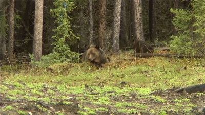 Momma bear and cub near Grande Cache