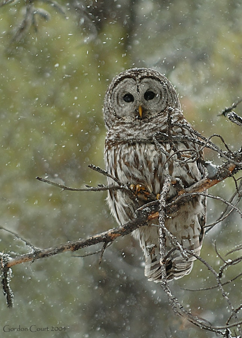 The barred owl will be a special guest this Sunday at the Strathcona Wilderness Centre, as part of the world Snow Day celebration.
