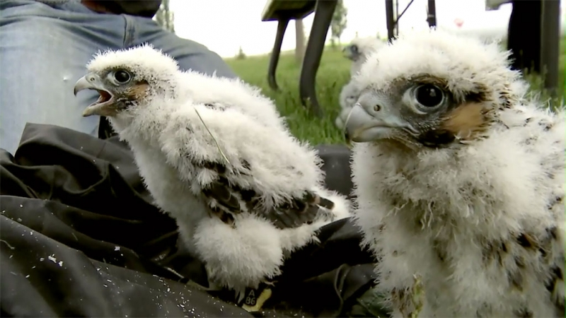 Peregrine Falcon chicks getting ready for leg banding and a trip home