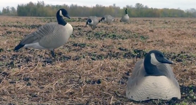 Four tips on setting up goose decoys