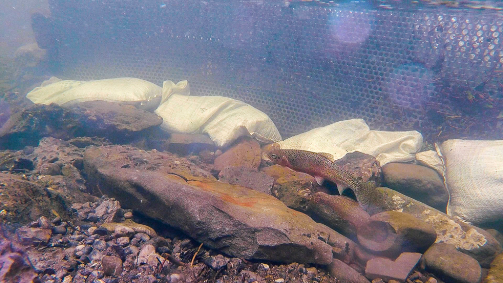 Ensuring a genetic pure strain of Westslope Cutthroat Trout is critical say biologists.
