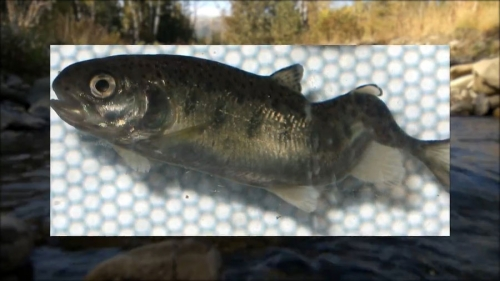 Clean-Drain-Dry your fishing gear when fishing in Whirling Disease waters