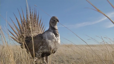 Sage Grouse released in Southern Alberta