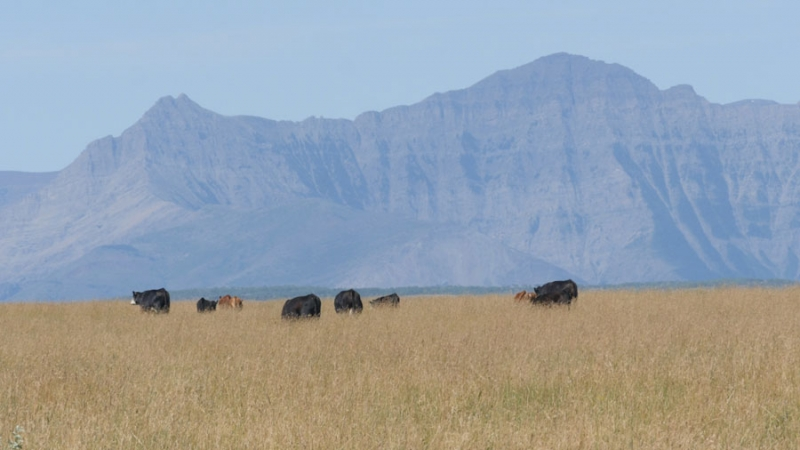 Cattle grazing in the foothills of Alberta near Pincher Creek